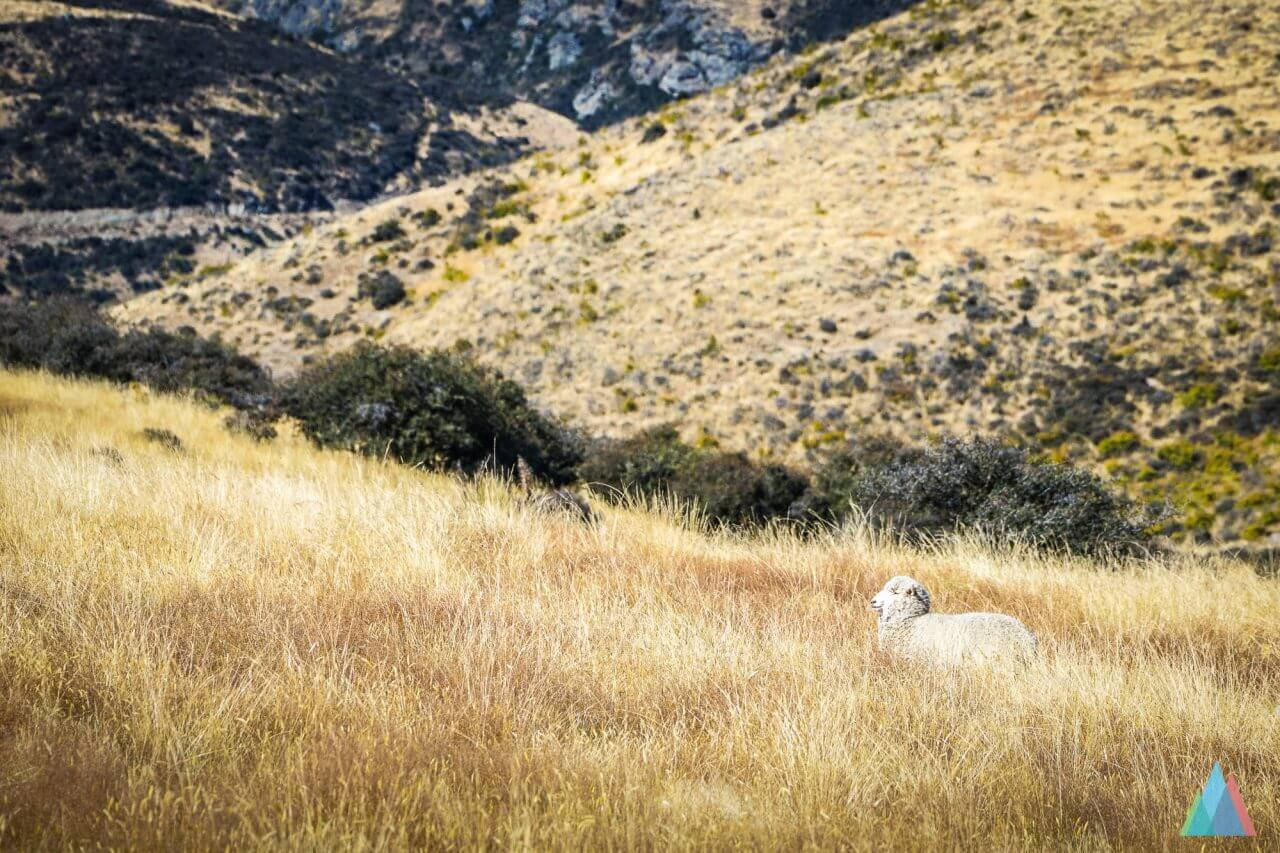 wanaka-new-zealand-mtb-trails-heli-bike-sheep
